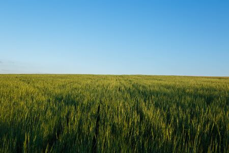 Field of fresh green wheat and blue sky on a background Imagens