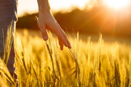 Farmers hands touch young wheat in the sunset light Imagens