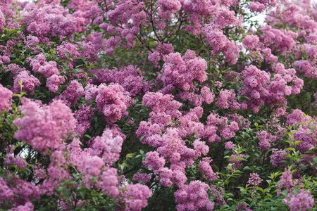 Flowering beautiful lilac in spring