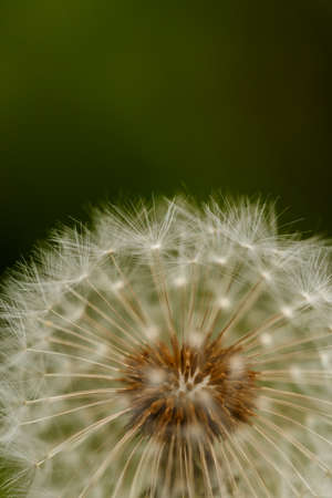Dandelion on a green blurry 免版税图像 - 150666554