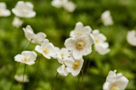 White Anemone sylvestris blossoming on green blurry bokeh 免版税图像