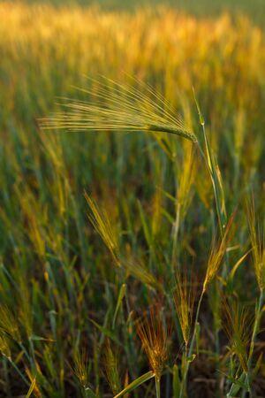 Fresh ears of young green wheat, Green wheat field in sunny day. 免版税图像 - 148252488
