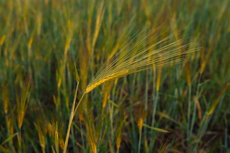 Fresh ears of young green wheat, Green wheat field in sunny day. 免版税图像