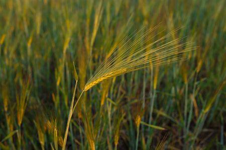 Fresh ears of young green wheat, Green wheat field in sunny day. 免版税图像 - 148252490