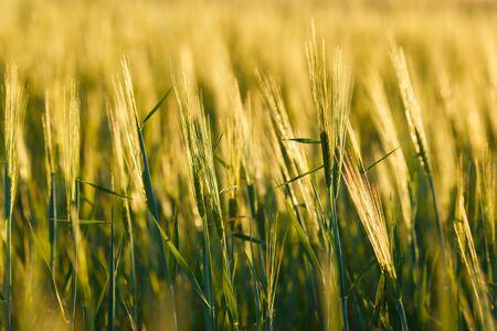 Fresh ears of young green wheat, Green wheat field in sunny day. 免版税图像 - 148252491