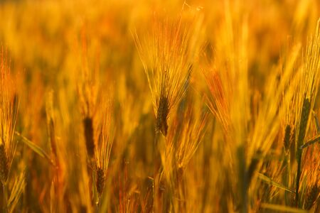 Young green wheat seedlings growing on a field. Agricultural field on which grow immature young cereals, wheat. Wheat growing in soil. Close up on sprouting rye on a field in sunset. 免版税图像