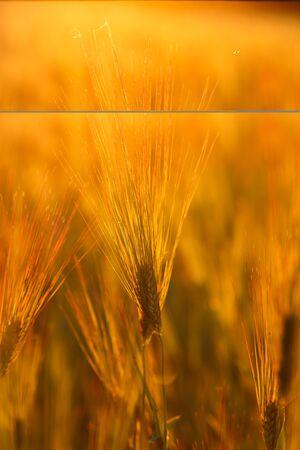 Barley field in golden glow of evening sun. 免版税图像 - 148252514