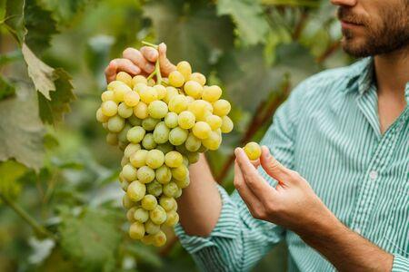 Senior Farmers Hands with Freshly Harvested white grapes. Smiling senior man harvesting white grapes. Stock Photo