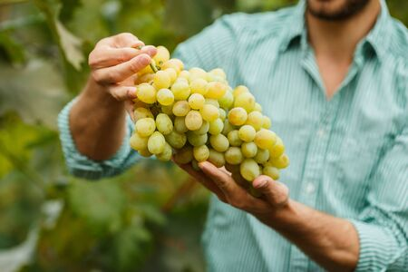 Senior Farmers Hands with Freshly Harvested white grapes. Farmer Hands Picking Grape.