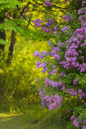 Branch of young lilac flowers with the leaves 免版税图像 - 148263856