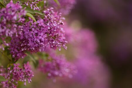 Branch of young lilac flowers with the leaves 免版税图像 - 148263863