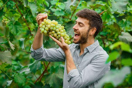 Farmers Hands with Freshly Harvested white grapes. Smiling senior man harvesting white grapes. 免版税图像 - 148457127