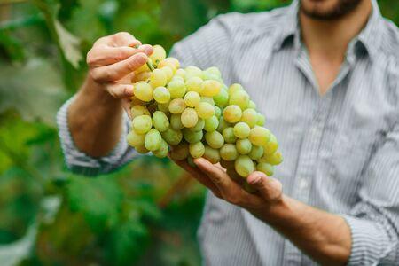 Farmers Hands with Freshly Harvested white grapes. Smiling senior man harvesting white grapes. 免版税图像 - 148457138