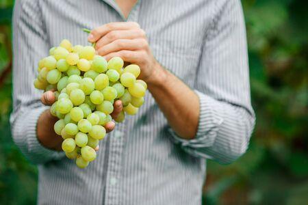 Farmers Hands with Freshly Harvested white grapes. Smiling senior man harvesting white grapes. 免版税图像