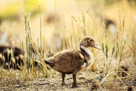 Domestic Young Ducklings Walk In The Grass