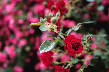 Bushes of red or scarlet roses against the background of pink roses. Flowering time, natural flower fence. Gardening, plants for landscape design. 免版税图像 - 150353445