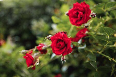 Bushes of red or scarlet roses. Flowering time, natural flower fence. Gardening, plants for landscape design. 免版税图像