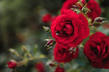 Bushes of red or scarlet roses. Flowering time, natural flower fence. Gardening, plants for landscape design. 免版税图像 - 150359041