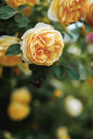 Bushes of very beautiful yellow roses. Flowering time, natural flower fence. Gardening, plants for landscape design. 免版税图像 - 150356960