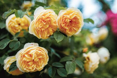 Bushes of very beautiful yellow roses. Flowering time, natural flower fence. Gardening, plants for landscape design. 免版税图像 - 150360285