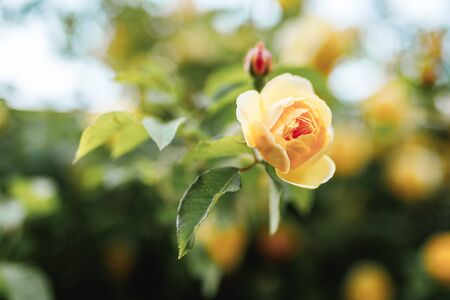 Bushes of very beautiful yellow roses. Flowering time, natural flower fence. Gardening, plants for landscape design. 免版税图像 - 150358822