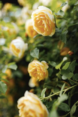 Bushes of very beautiful yellow roses. Flowering time, natural flower fence. Gardening, plants for landscape design.