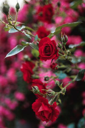 Bushes of red or scarlet roses against the background of pink roses. Flowering time, natural flower fence. Gardening, plants for landscape design.