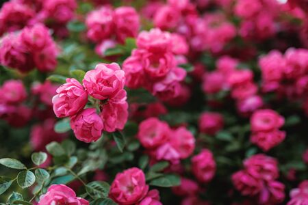 Bushes of pink roses. Flowering time, natural flower fence. Gardening, plants for landscape design. 免版税图像 - 150495206