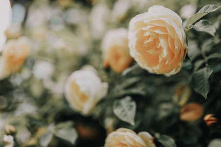 Beautiful bush of yelrow roses in a spring garden. Rose garden. 免版税图像 - 150575318