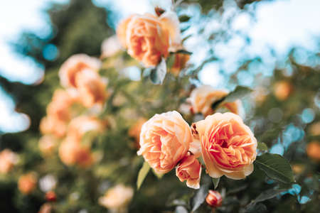 Beautiful bush of orange roses in a spring garden. Rose garden. 免版税图像