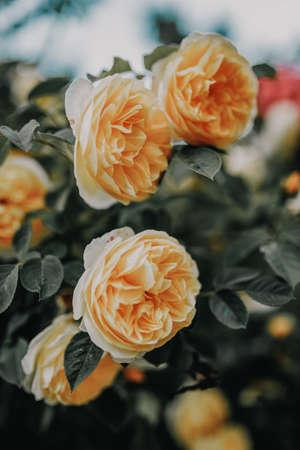 Beautiful bush of yelrow roses in a spring garden. Rose garden. 免版税图像