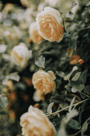 Beautiful bush of yelrow roses in a spring garden. Rose garden. 免版税图像 - 150575478