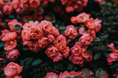 Bushes of pink roses. Flowering time, natural flower fence. Gardening, plants for landscape design.