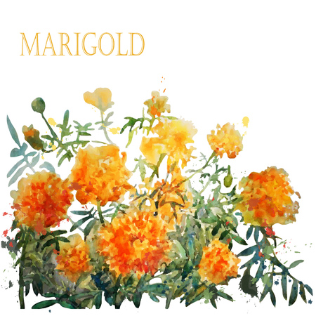 ilustration and painting: Watercolor marigold. Vector.