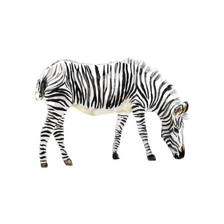 zebra: Pintado a mano acuarela de cebra. Ilustración del vector.