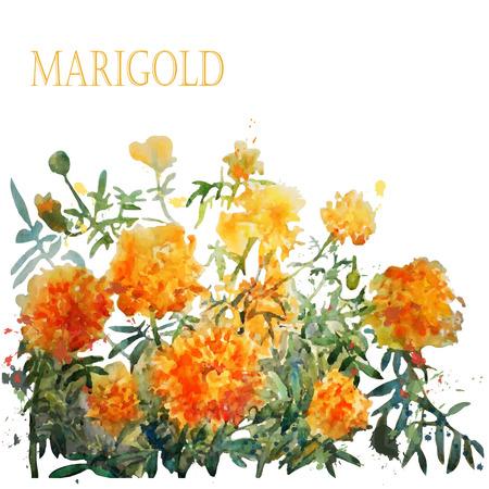 Watercolor marigold. Vector. Фото со стока - 46882580