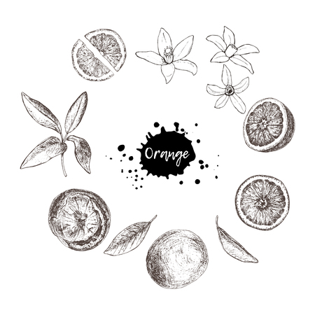 Set of isolated hand drawn oranges, slices and flowers in sketch Illustration