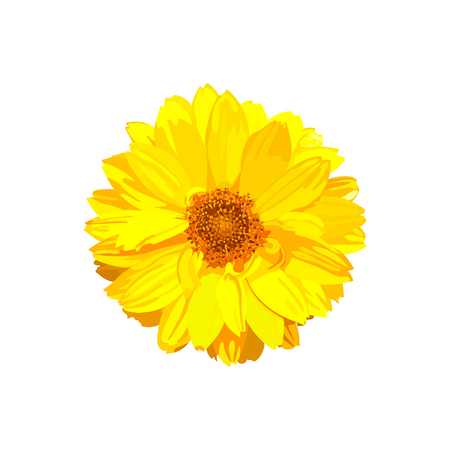 Chrysanthemum flower. Vector floral isolated colorful yellow pla