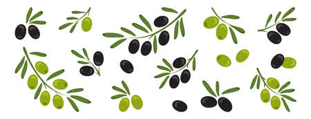 Black and green olives, branch olives with leaves isolated on white background. Vector illustration