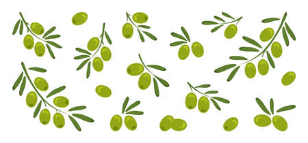 Green vector olives, branch olives with leaves isolated on white background. Nature and food illustration