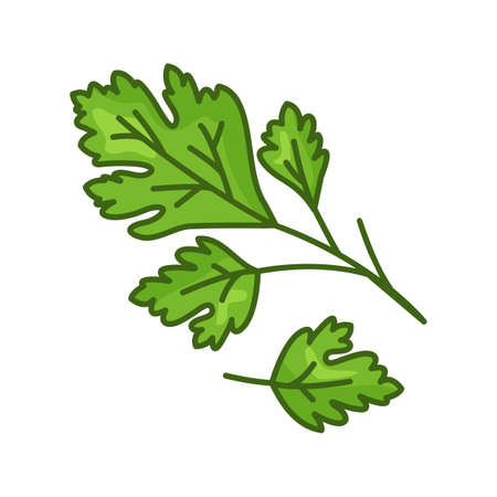 Parsley vector icon, green leaves, cartoon fresh plant isolated on white background. Herb illustration 矢量图像