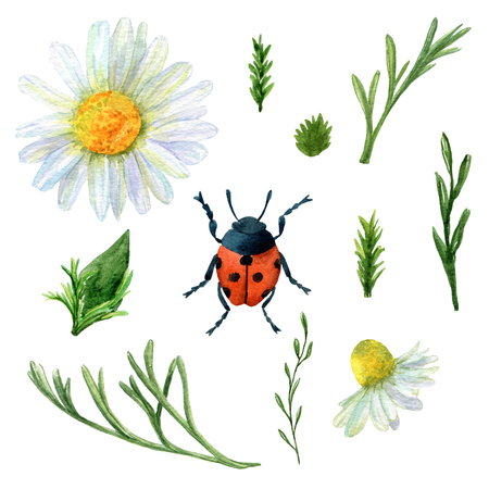 Set of watercolor summer meadow plants and ladybug. Collection of natural hand drawn rustic elements: insect, herbs and chamomiles for design on white background