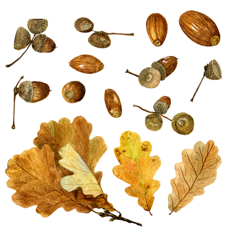 Set of watercolor autumn oak leaves and acorns. Fall collection of natural hand drawn elements: foliage and branches for design on white background