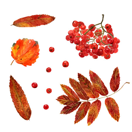 Set of watercolor autumn aspen, rowan leaves and berries. Fall collection of natural hand drawn elements: foliage and branches for design on white background