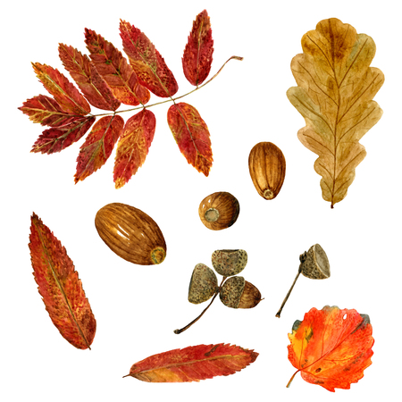 Set of watercolor autumn oak, rowan, aspen leaves and acorns. Fall collection of natural hand drawn elements: foliage and branches for design on white background