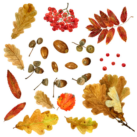 Big set of watercolor autumn oak, rowan, aspen leaves and acorns. Fall collection of natural hand drawn elements: foliage and branches for design on white background Banco de Imagens