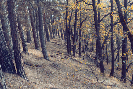 yellow trees: Yellow leaves trees on autumn forest, beautiful gold fall woods