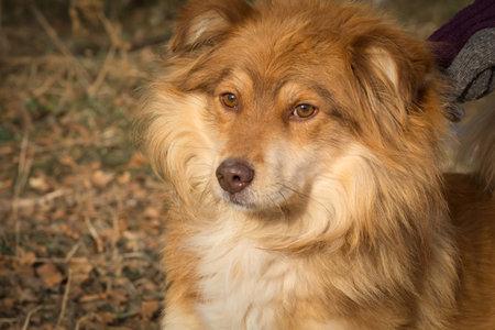 Portrait of a sad red mongrel dog in a dog shelter