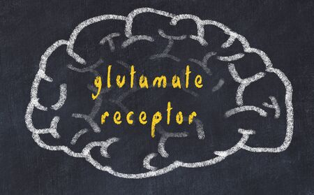 Drawing of human brain on chalkboard with inscription glutamate receptor.