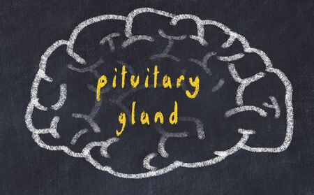 Drawing of human brain on chalkboard with inscription pituitary gland.